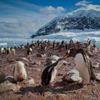 Gentoo-penguins-Antarctica-2-XL