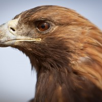 Golden-eagle-mongolia-1