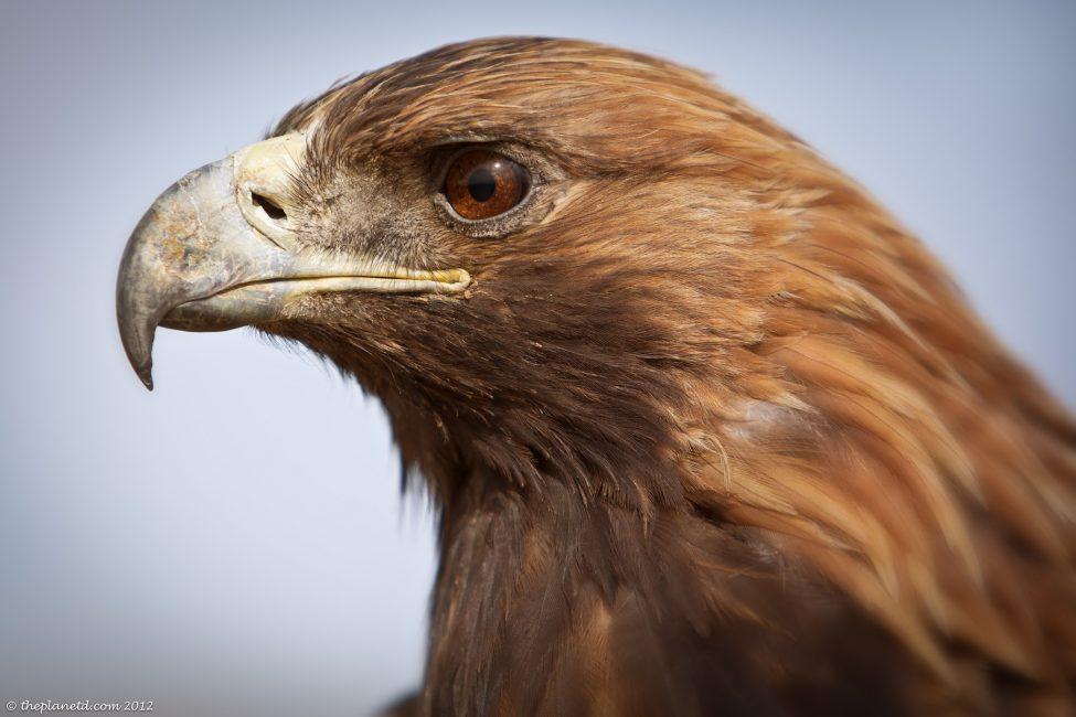 Golden-eagle-mongolia-1