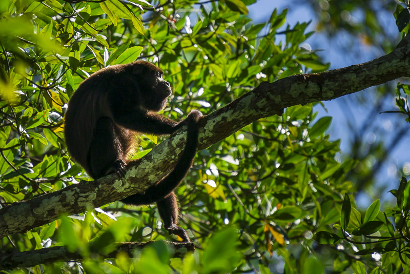 Howler Monkey in Costa Rica