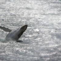 Humback-whale-breaching-XL