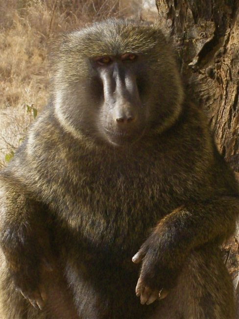 A Nice Baboon in Ethiopia