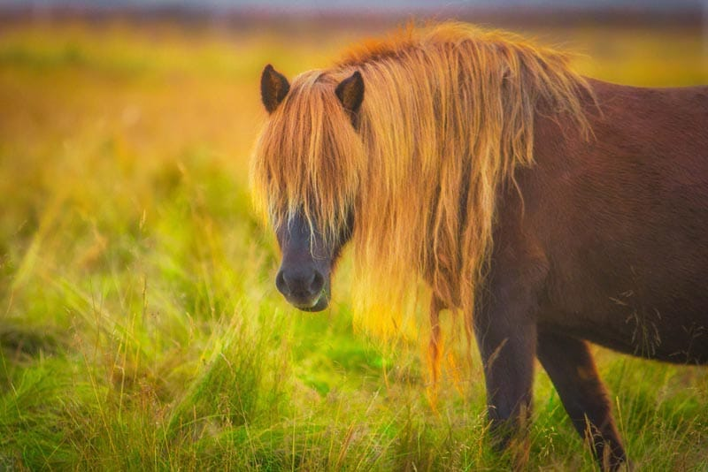 The Icelandic Horse - All you Need to Know About this