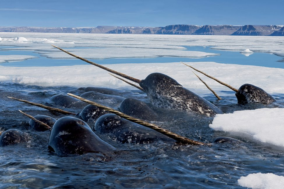 The Narwhal by Paul Nicklen