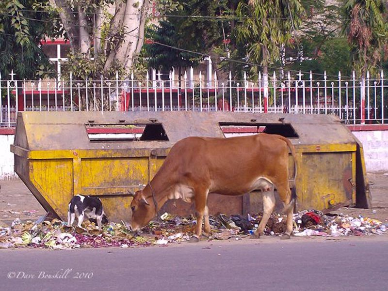 filth in india cows eating garbage