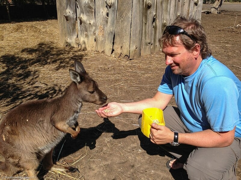 Kangaroo Island wildlife - Dave feeds kangaroo