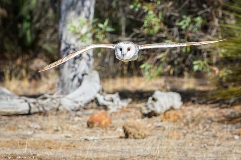Kangaroo Island Australia wildlife sanctuaries - flying owl