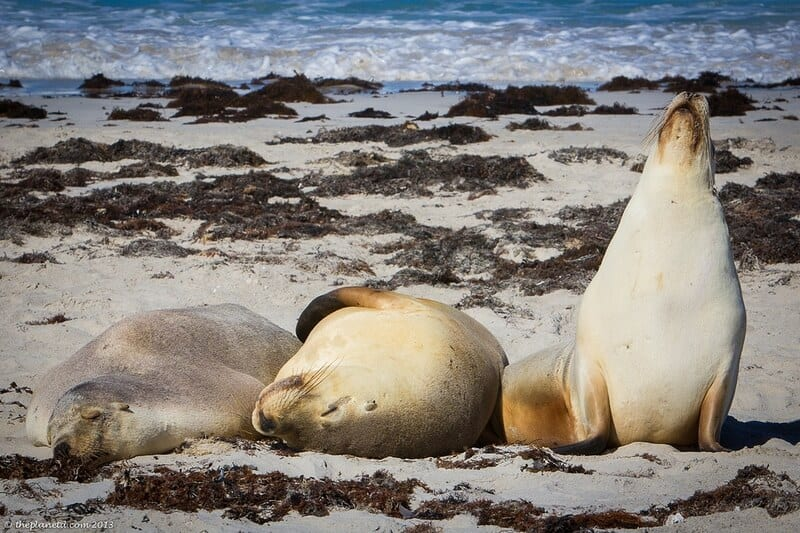 Kangaroo Island wildlife - seals