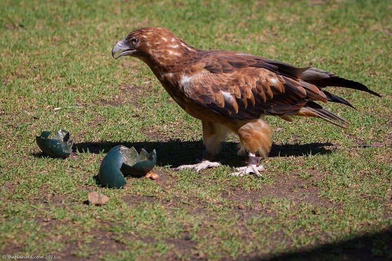Kangaroo Island wildlife - vulture