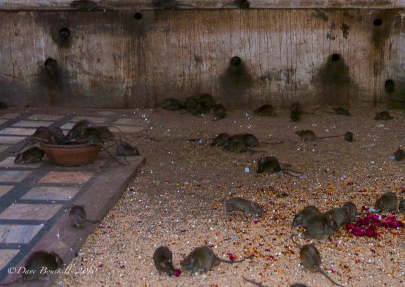 Rats at Karni Mata Rat Temple India