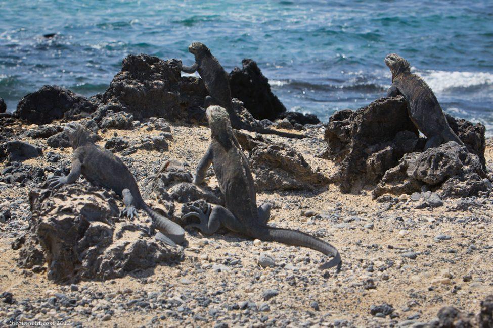 Marine-iguanas-galapagos-1