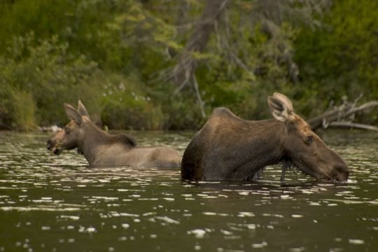 Mom and Baby Moose in Algonquin
