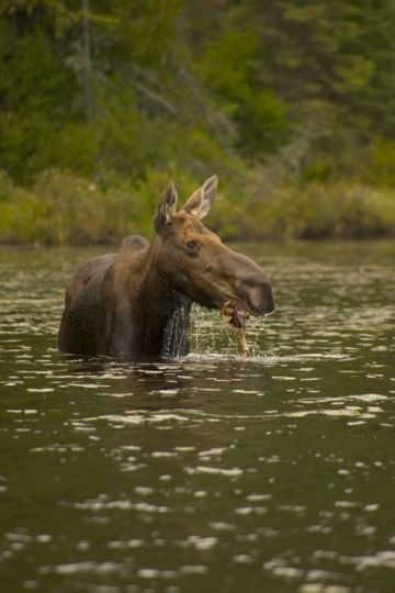 Moose Algonquin Park