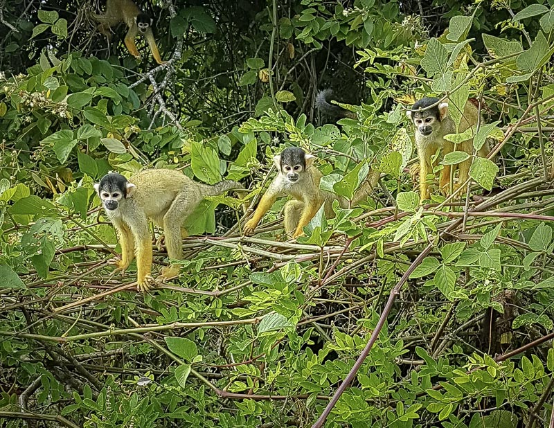 monkeys in the bolivian amazon rainforest