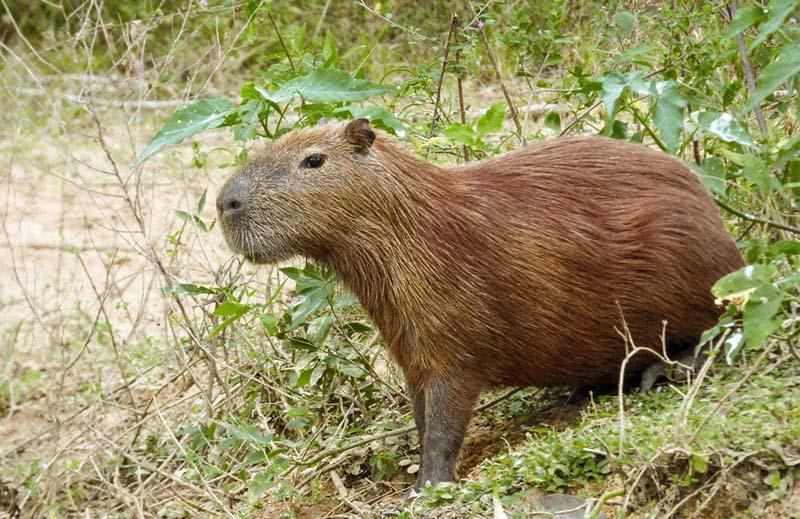 wildlife pantanal