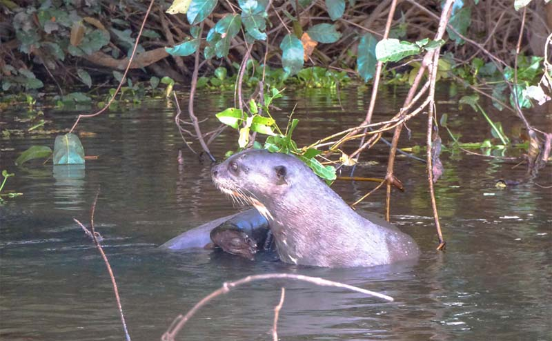 spotting otters while paddling in the Pantanal in Brazil