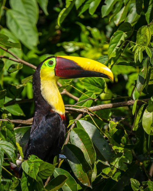 Toucans in Costa Rica