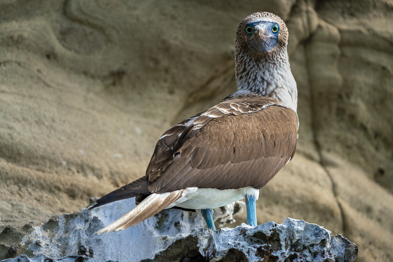 Blue footed Boobie on Panama Canal Uncruise
