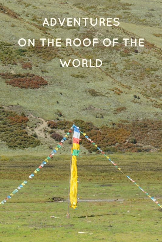 chinese mountain cat tibetan plateau