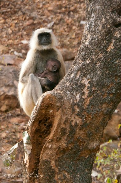 A monkey and her Baby at Ranthambore