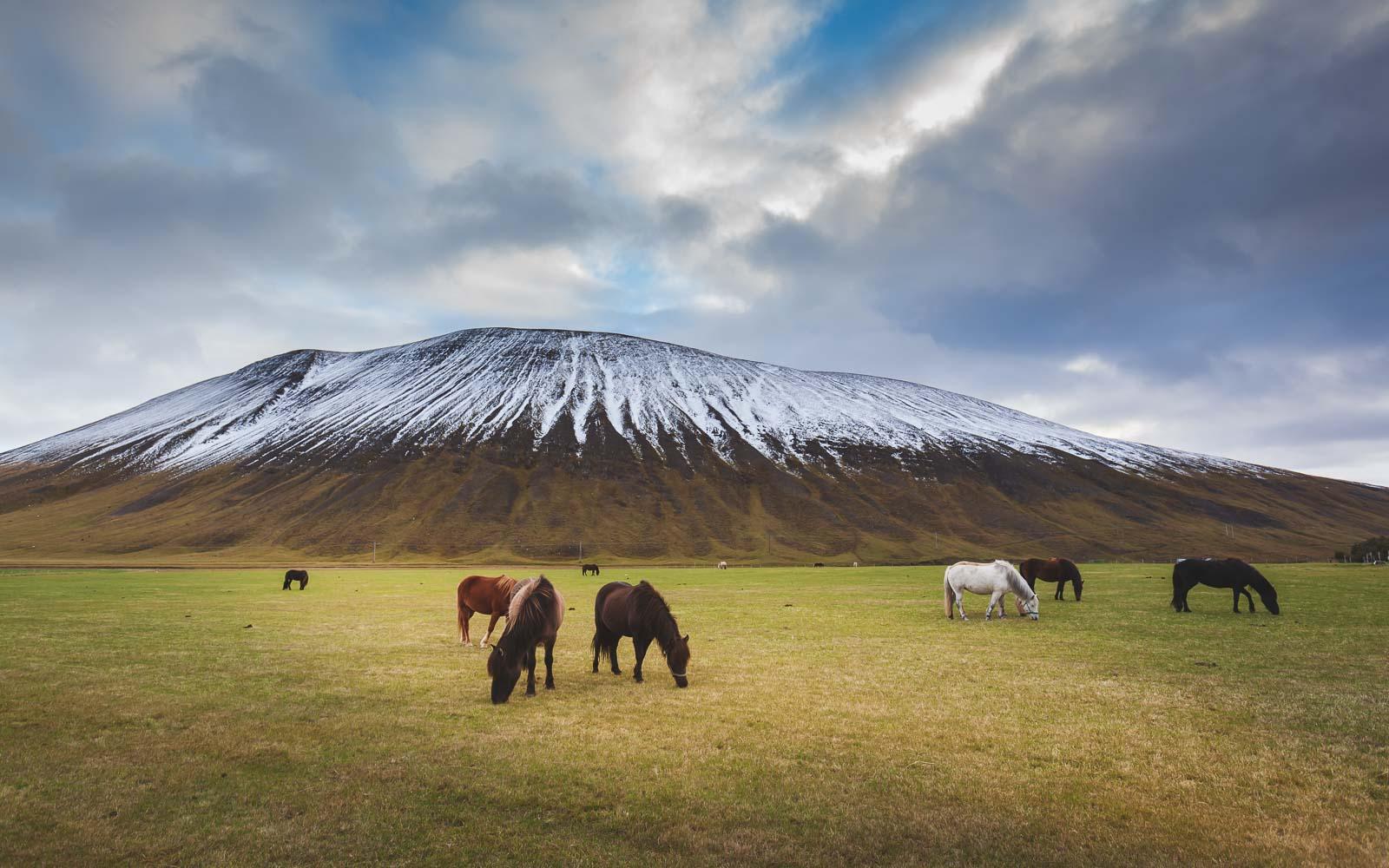 Viking Horses in Iceland