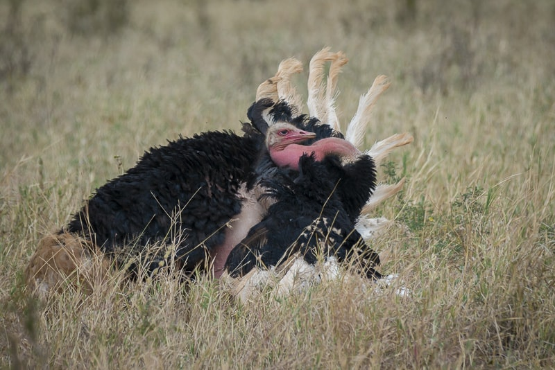 Male ostrich in his mating dance