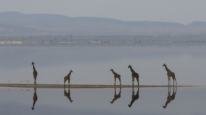 Giraffes on safari at Lake Manyara