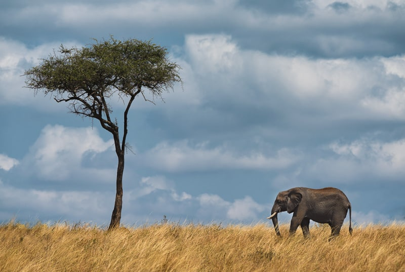 africa safari lone elephant lone tree