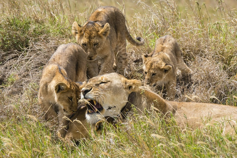 Safari-in-tanzania-lion cubs