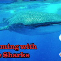 whale sharks video