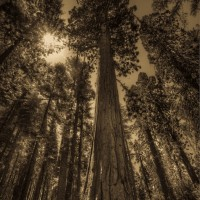 Sequoia-tree-mariposa-grove-XL