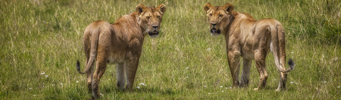 South Africa travel viewing lions