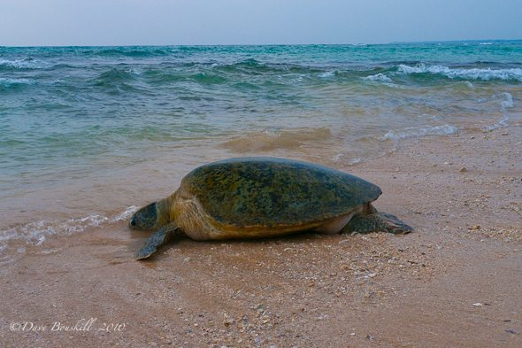 sea turtle on beach of Hikkaduwa