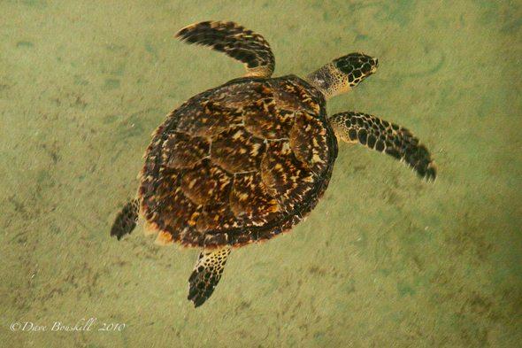 sea turtle at sri lanka turtle hatchery