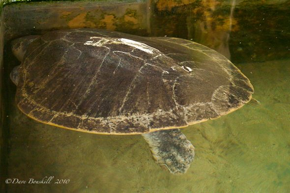 Injured turtle at Sri Lanka Turtle Hatchery