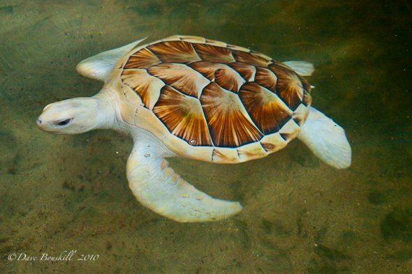 albino sea turtle, conservation sri lanka