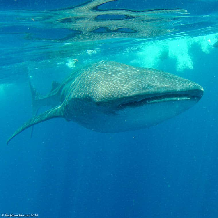 Swimming-with-Whale-sharks-mexico-front