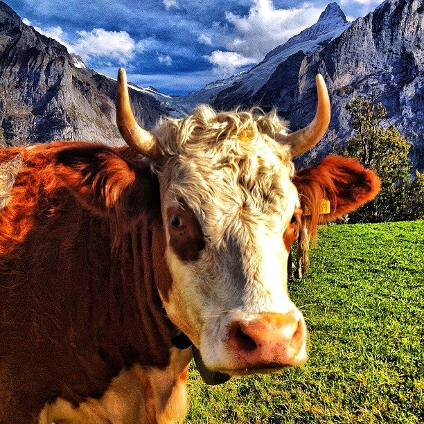 cow in Switzerland with mountains