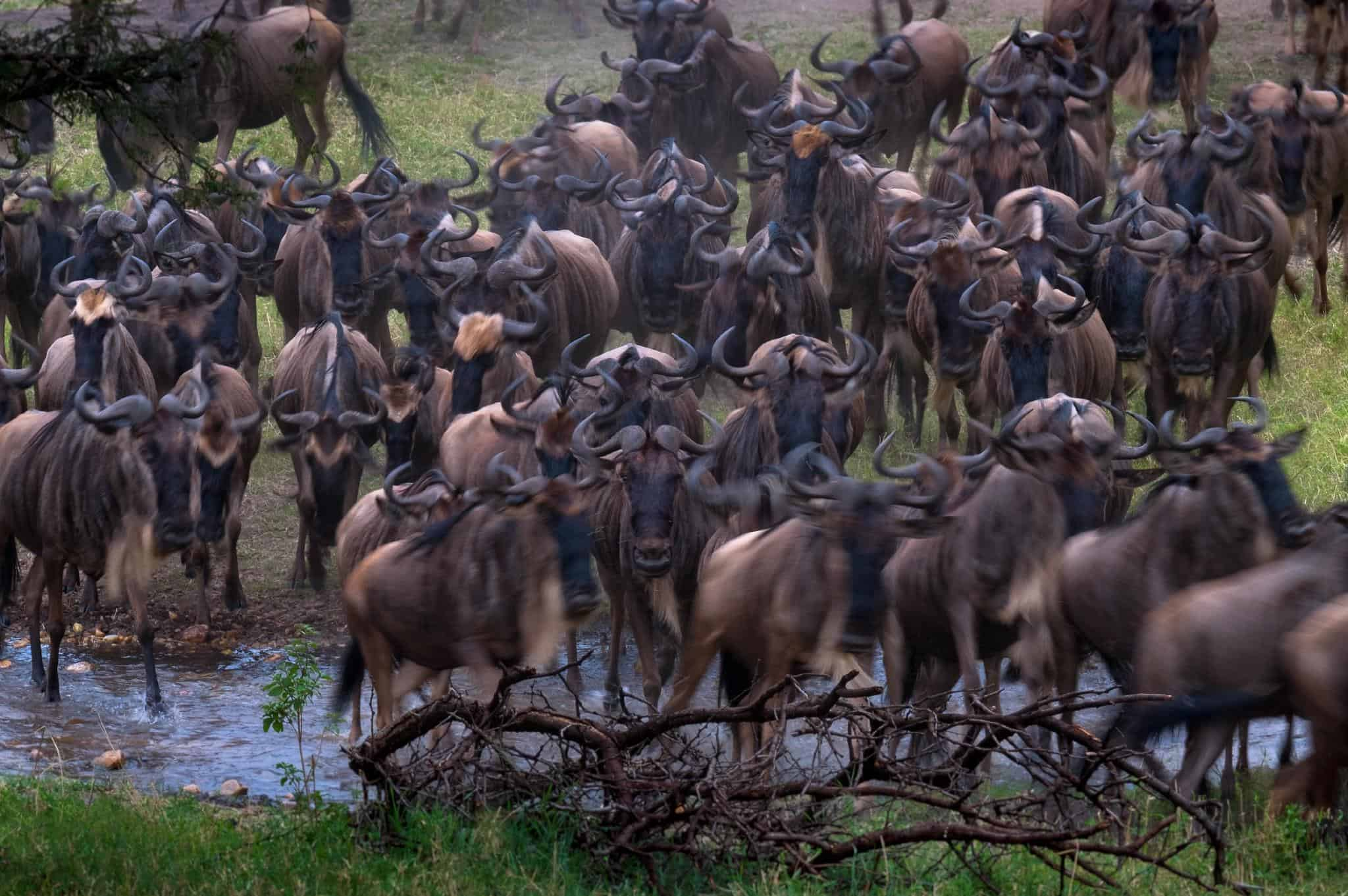 tanzania wildlife safari great migration