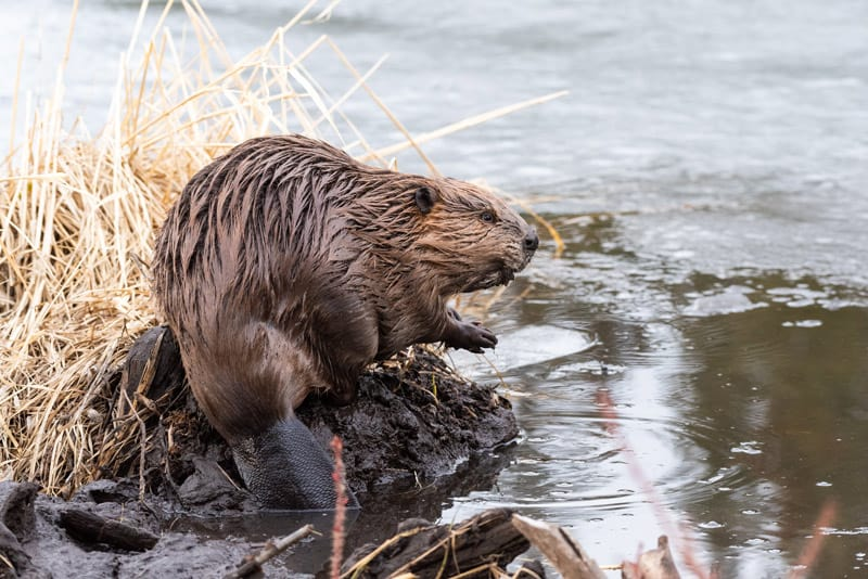 The Beaver is Canada's National Animal
