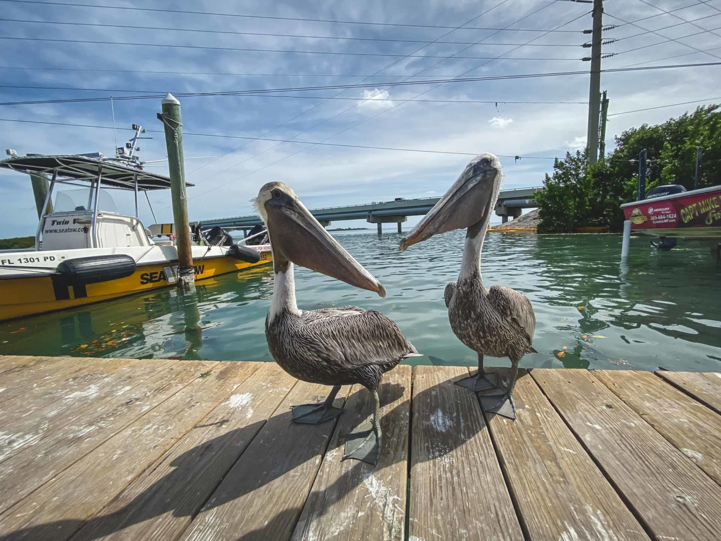 pelicans at Robbies Marina - things to do in isla morada