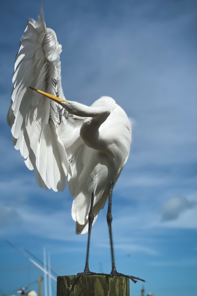 pelican on isla morada