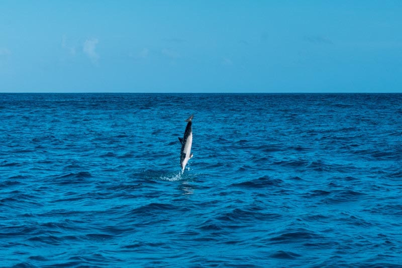 things to do in the Maldives dolphin watching