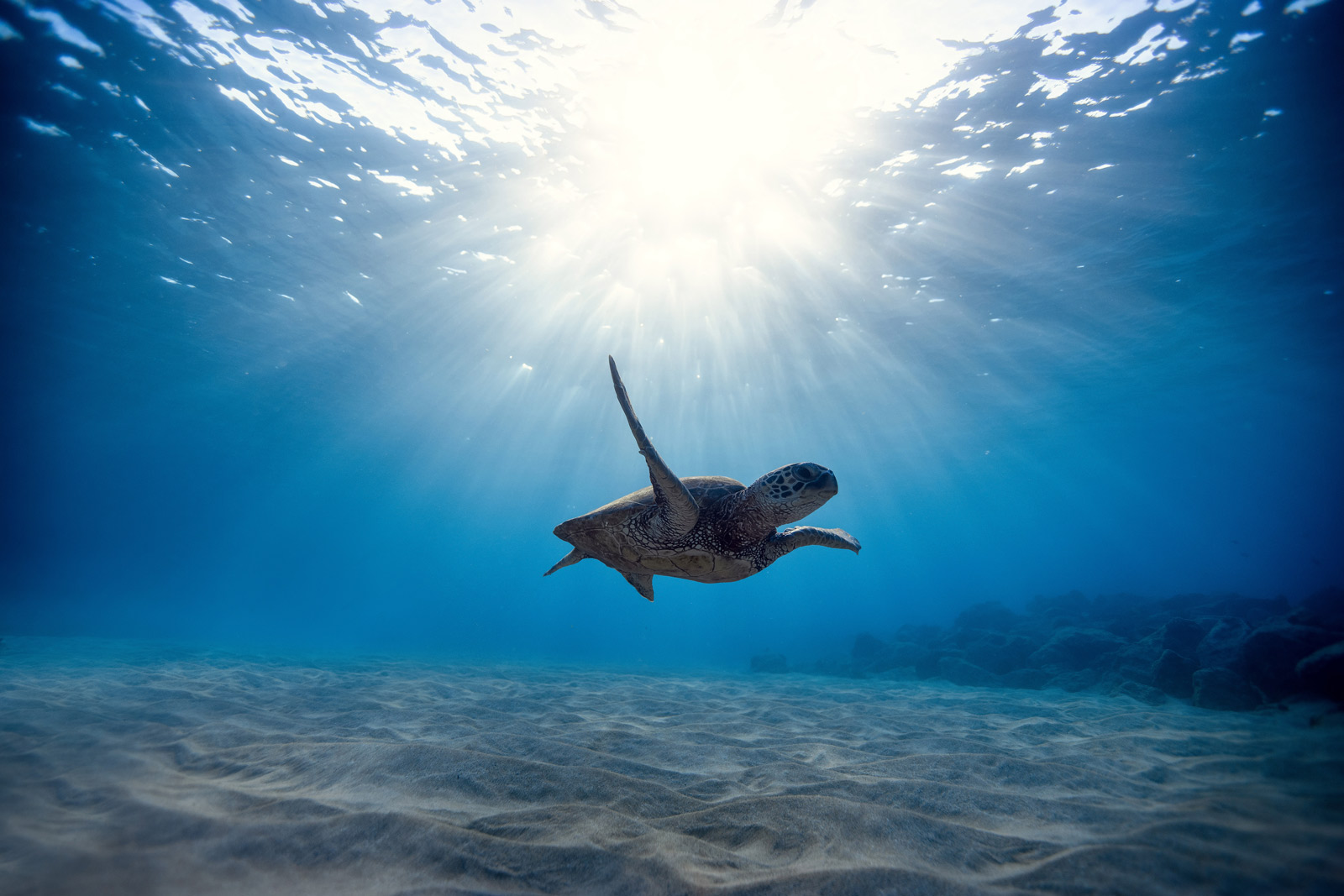 Swimming with Sea Turtles in Oahu