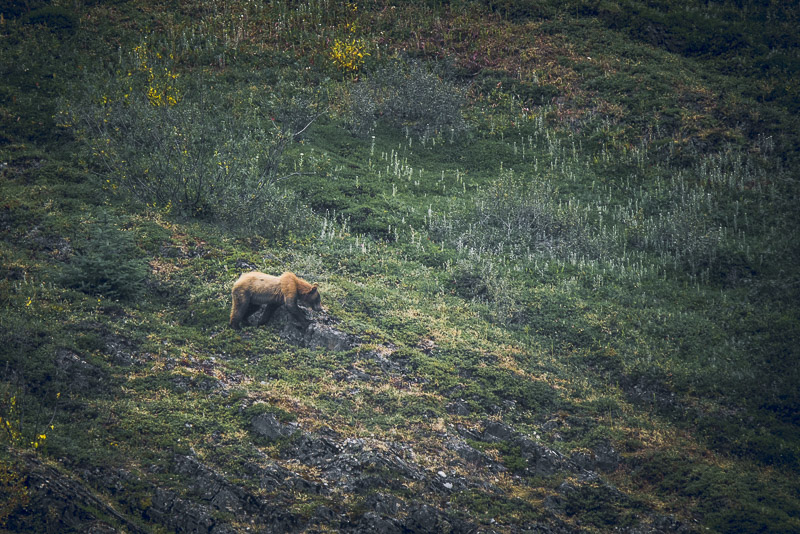 Brown bear or Grizzly bear in Alaska