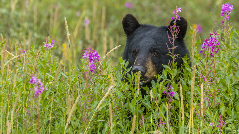 Black bears in alaska