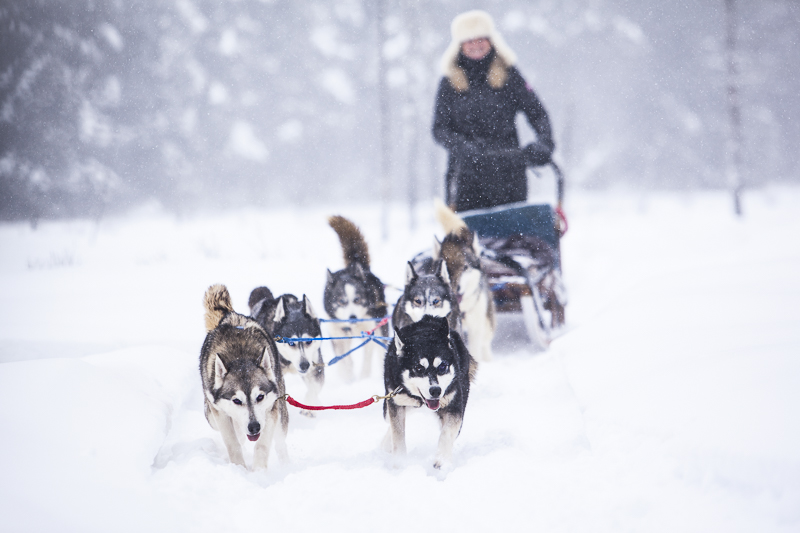 Dog mushing is something you can do in Alaska