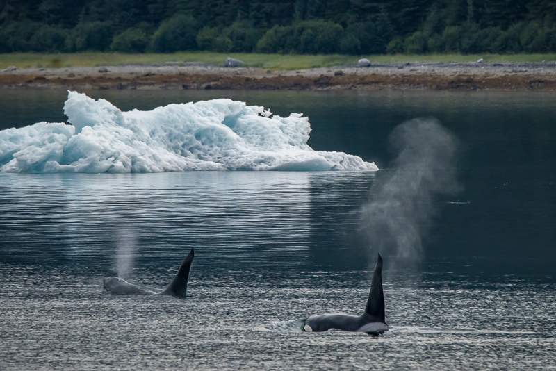 Orca whales in Alaska by an iceberg