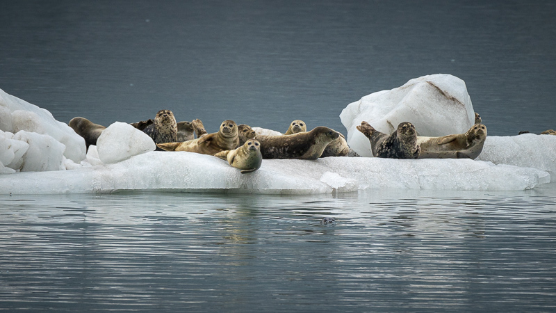 Seals on an ice floe Alaska