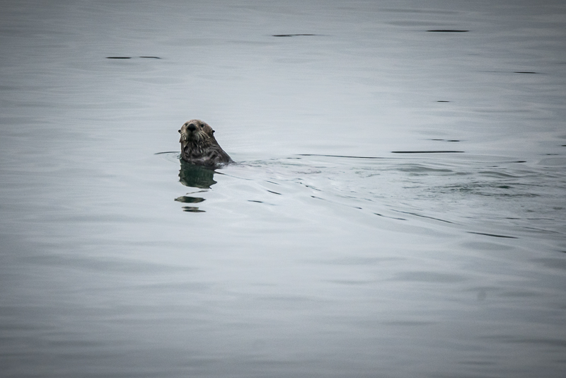 Sea otter playing near our ship Uncruise Alaska